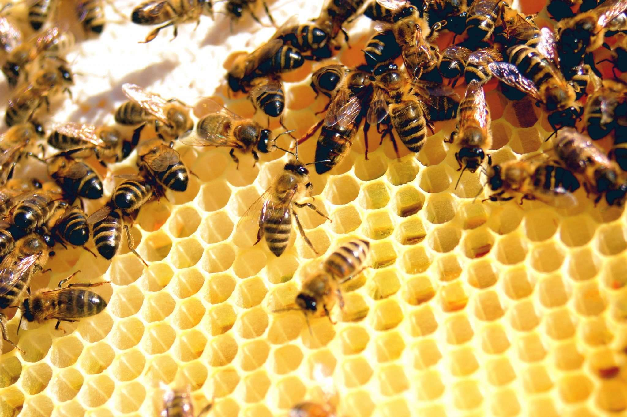 photo of worker bees by Todd Hufman